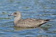 Glaucous-winged Gull (1st year) | Goéland à ailes grises | Larus glaucescens
