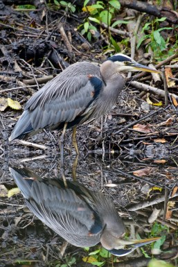 Great Blue Heron | Grand héron | Ardea herodias
