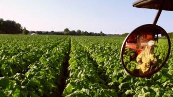 45: Tobacco harvest in Norfolk County ft. Oliveira family (Tillsonburg) [PT]: https://pchpblog.wordpress.com/2016/10/27/our-story-on-tobacco-farming-in-norfolk-county-aired-on-rtp/