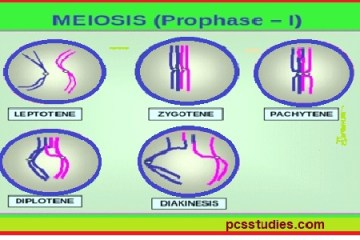 cell division- meiosis- prophase 1