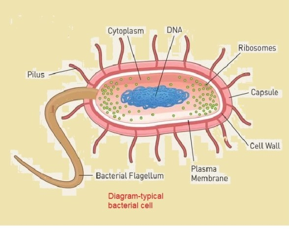 Shape of bacterial cell