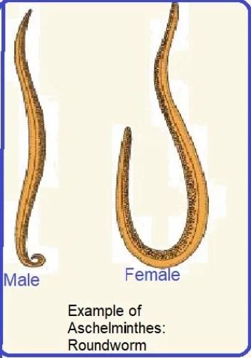 phylum aschelminthes ancylostoma
