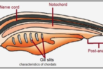 Characteristics features of phylum Chordata