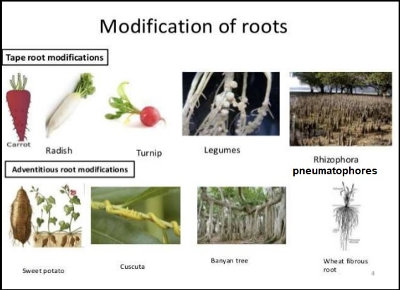 modification of roots
