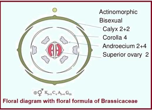 floral diagram Brassicaceae