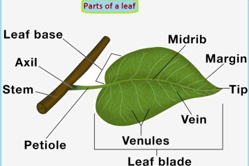 parts of leaves