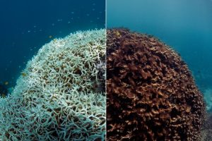 Before and after: A coral as it bleached in (left) and then died (right) on the Great Barrier Reef, March through May of this year.