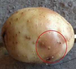 Image result for pink eye disease potato