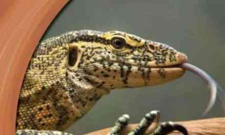 Animal Invaders Monitor Lizard