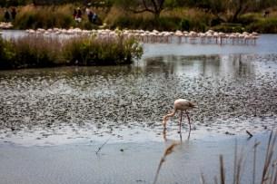 Flamingo and flamingoes