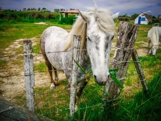 Closeup of a Camargue white horse.