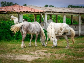 Two white Camargue horses in a farm near the road