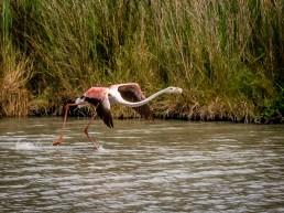 A flamingo takes flight