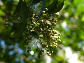 Lillypilly fruitbuds, Sydney
