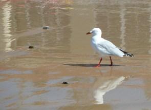 Walking gull