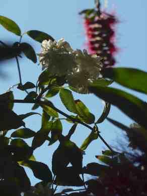 Sydney- banksia rose