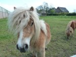 Nederhemert, Bon Jovi ponies- The Netherlands