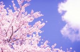「桜の画像」の画像検索結果