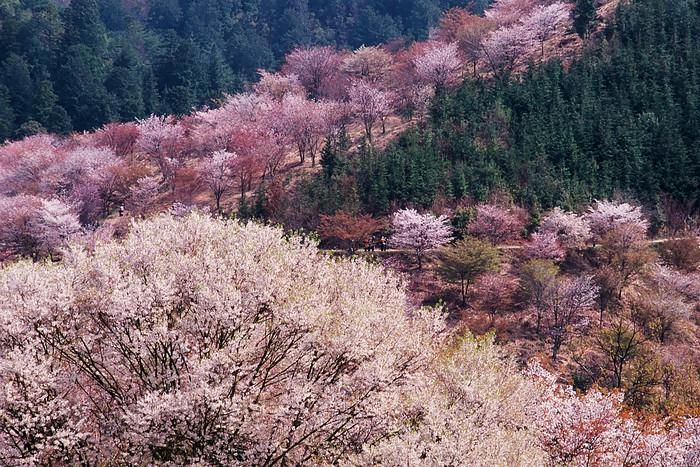 Sakura - (c) wabisabi55
