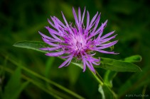 Northern Blazing Star