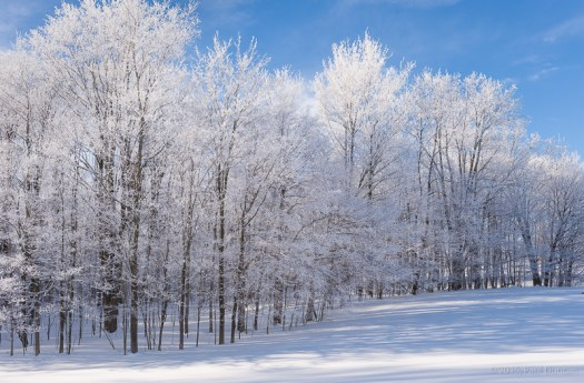 Trees frosted with Winter snow