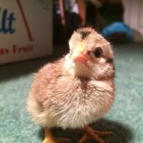 cream legbar hen