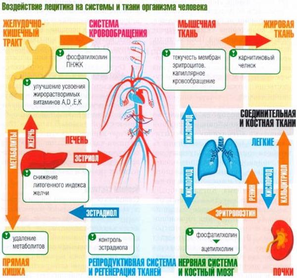 Perhatikan efek Lesitin pada tubuh.