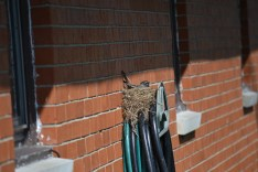 Mama Robin sitting on 4 eggs by 4-30-13