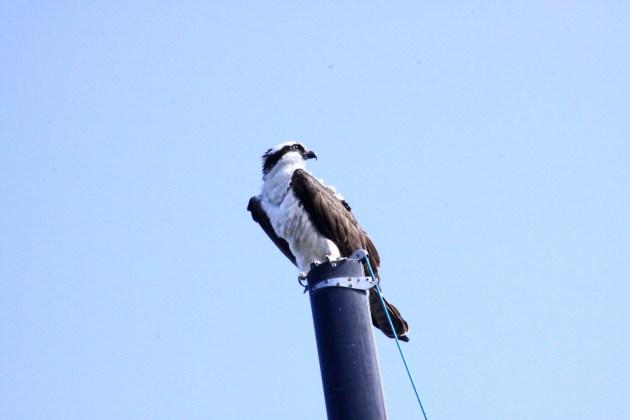 All Seeing Osprey