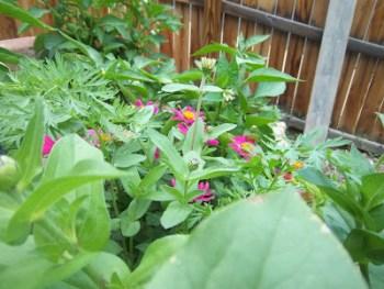 Favorite Things of Summer: Zinnias and Zucchini