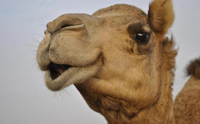 Camel Chews Miracle Tree