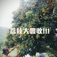 茘枝樹大豐收 !