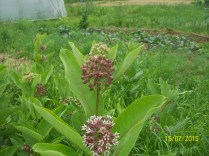 we like to leave lots of milkweed around to bloom and perfume the air