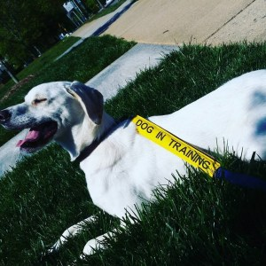 White dog with a dog in training ribbon lying on grass