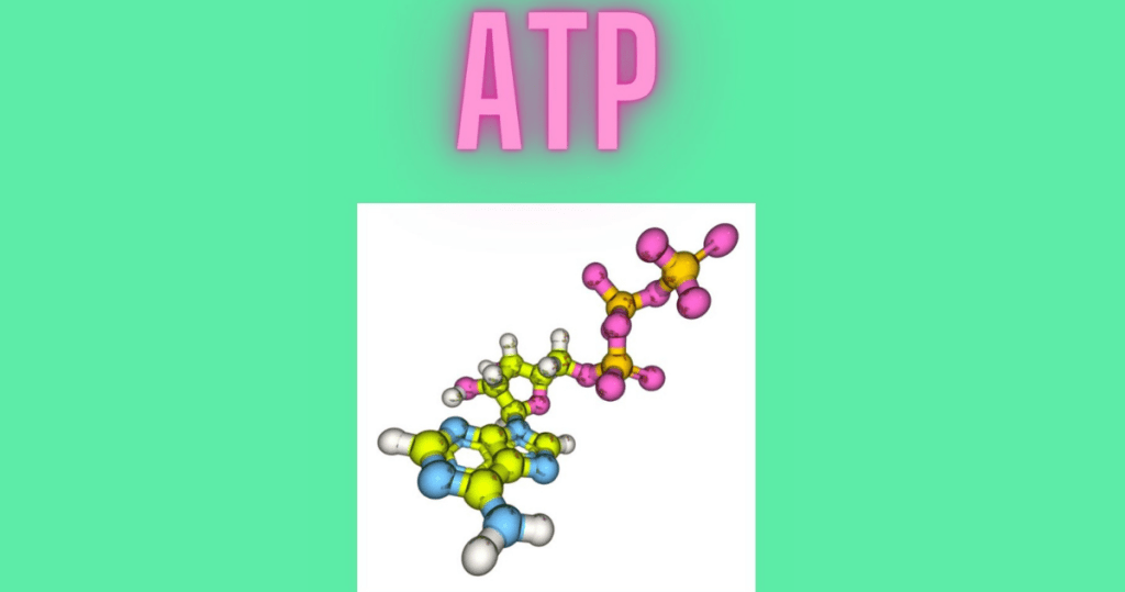 ATP is the energy molecule produced by your mitochondria.
