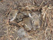 wild-rabbits_01