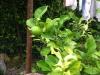 Limetten im Garten