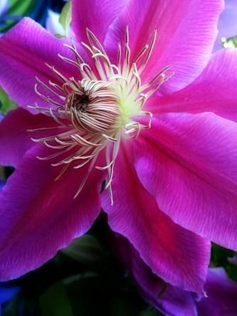Pink Clematis Bloom