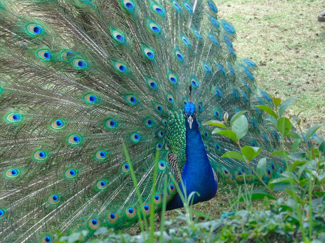 Peacock Two by Lorette C. Luzajic