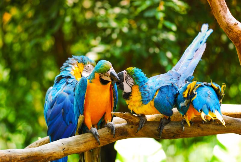 Kissing Macaws