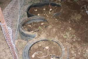 Tire potato tower planting