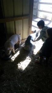 Pig rubs