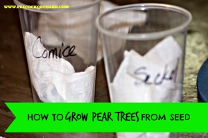 How to grow pear trees from seed