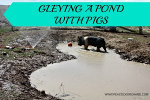 Gleying a pond with pigs