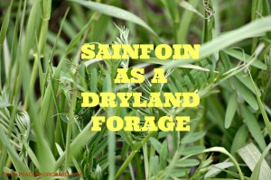 Sainfoin as a dryland forage