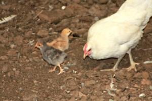 Mommy Chicken
