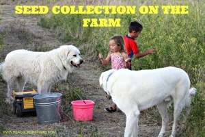 Seed collection on the farm