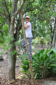 Climbing the bamboo ladder they use to get the palm sap collected over night
