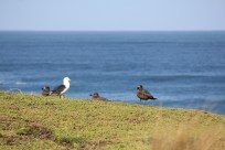 A Shy Albatross and Mutton birds