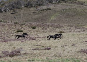 We think this little bunch of three were young stallions shadowing the main herd